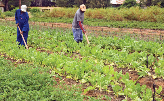 commercial farming vs subsistence farming Subsistence agriculture is a self-sufficiency farming system in which the farmers focus on growing enough food to feed themselves and their entire families.